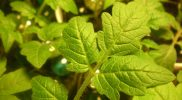 How to Deal with Brown Spots on Tomato Leaves