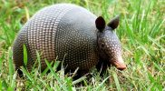 How to Get Rid of Armadillos – The Destructive Animal
