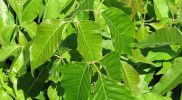 How to Kill Poison Ivy – The Surefire Way