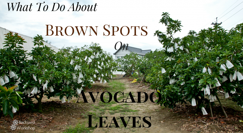 What to Do about Brown Spots on Avocado Leaves