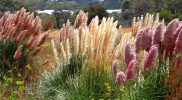 How To Kill Pampas Grass – The Best Things You Can Do!