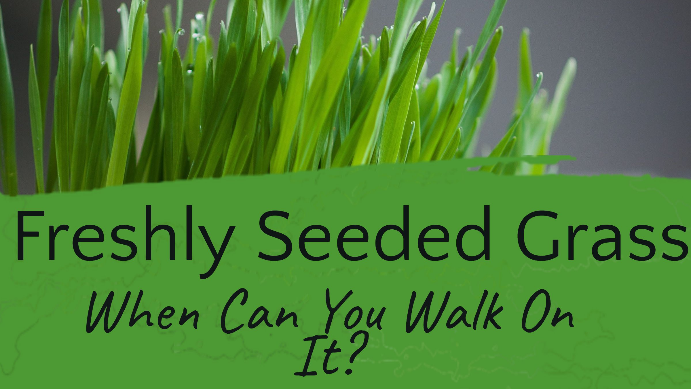 when can you walk on seeded grass